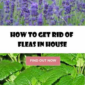 How to get rid of fleas in house, yard and pets.