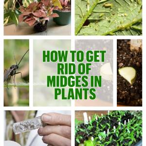 How to get rid of midges in plants so as not to miss the season and enjoy a good harvest