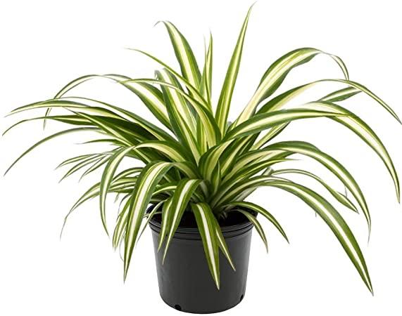 Amazon.com : AMERICAN PLANT EXCHANGE Spider Plant Easy Care Live ...