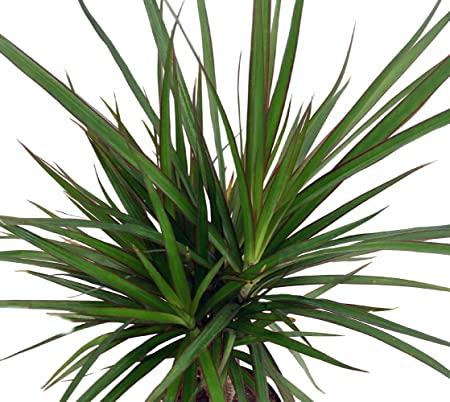 "Amazon.com : Madagascar Dragon Tree - Dracaena marginata - 4"" Pot ..."
