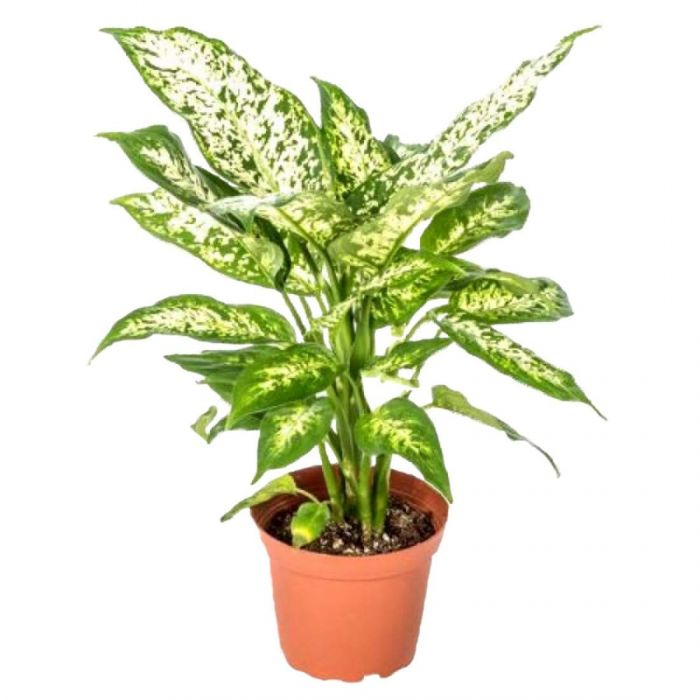 Going Greens Air purfiying Chinese Evergreen Plant/ Aglaonema